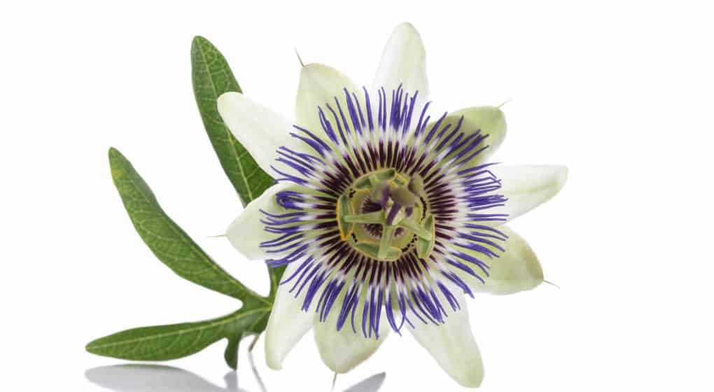 Passion Flower Supplement Reviews: Benefits, Safety and Dosage